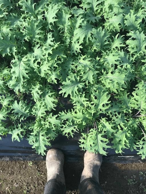 Kale – Nutrient-dense superfood